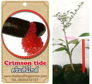 <<<<สั่งซื้อ>>>ต้นมะนาวคาเวียร์เสียบยอดสายพันธุ์ Crimson Tide size S