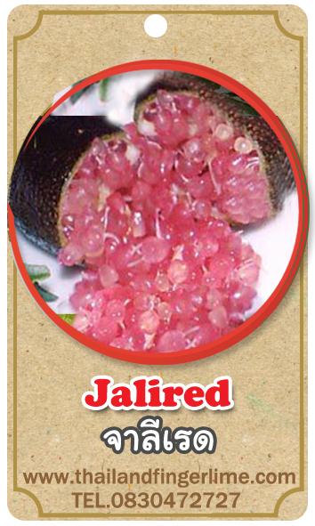ต้นมะนาวคาเวียร์เสียบยอดสายพันธุ์ Jali Red Size M