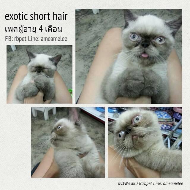 Exotic ShortHair เพศผู้ อายุ4เดือน (ขายแล้วค่ะ)