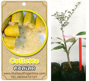 <<<<สั่งซื้อ>>>>ต้นมะนาวคาเวียร์เสียบยอดสายพันธุ์ Collete size S