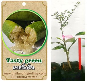 <<<<สั่งซื้อ>>>>ต้นมะนาวคาเวียร์เสียบยอดสายพันธุ์ tasty green size S