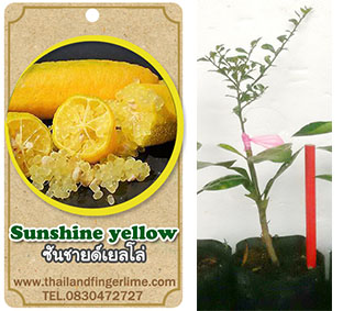 <<<<สั่งซื้อ>>>ต้นมะนาวคาเวียร์เสียบยอดสายพันธุ์ Sunshine Yellow size S