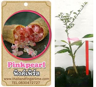 <<<<สั่งซื้อ>>>ต้นมะนาวคาเวียร์เสียบยอดสายพันธุ์ Pink Pearl size S