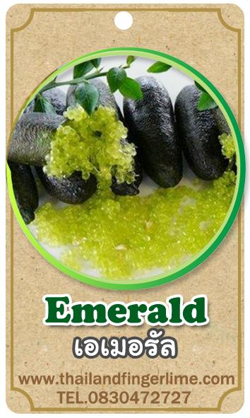 ต้นมะนาวคาเวียร์เสียบยอดสายพันธุ์ Emerald Size M