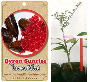 <<<<สั่งซื้อ>>>ต้นมะนาวคาเวียร์เสียบยอดสายพันธุ์ Byron Sunrise size S