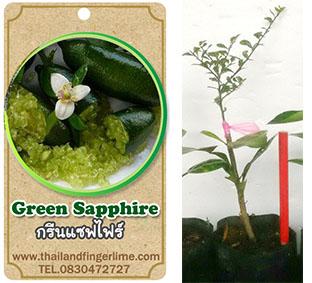 <<<<สั่งซื้อ>>>ต้นมะนาวคาเวียร์เสียบยอดสายพันธุ์ Green Sapphire Size S