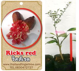 <<<<สั่งซื้อ>>>ต้นมะนาวคาเวียร์เสียบยอดสายพันธุ์ Rick Red size S