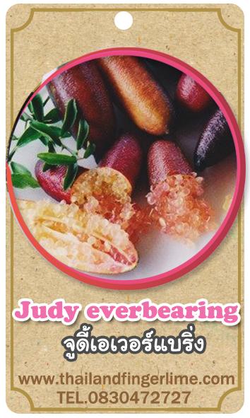ต้นมะนาวคาเวียร์เสียบยอดสายพันธุ์ Judy Everbearing Size M