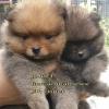 ลูกหมาปอมเปอเรเนียน เพศเมีย อายุประมาณ 50 วัน (สนใจติดต่อทางLineหรือFB)