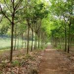 ที่ดิน สวนยางพารา 700ไร่ พร้อมห้องพักคนงาน ป่าหวาย สวนผึ้ง ราชบุรี