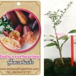 <<<<สั่งซื้อ>>>>ต้นมะนาวคาเวียร์เสียบยอดสายพันธุ์ Judy's Everbearing Fingerlime Size S