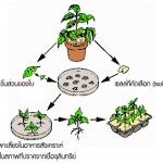 ขั้นตอนการเพาะเลี้ยงเนื่อเยื่อพืช