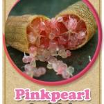 ต้นมะนาวคาเวียร์เสียบยอดสายพันธุ์ Pink Pearl Size M
