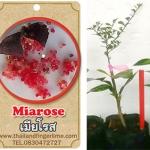 <<<<สั่งซื้อ>>>>ต้นมะนาวคาเวียร์เสียบยอดสายพันธุ์ Mia rose size S