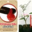 <<<<สั่งซื้อ>>>ต้นมะนาวคาเวียร์เสียบยอดสายพันธุ์ Crimson Tide size S thumbnail 1