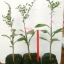 <<<<สั่งซื้อ>>>ต้นมะนาวคาเวียร์เสียบยอดสายพันธุ์ Green Sapphire Size S thumbnail 2