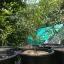 ต้นมะนาวคาเวียร์เสียบยอดสายพันธุ์ Judy Everbearing Size L thumbnail 2