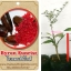 <<<<สั่งซื้อ>>>ต้นมะนาวคาเวียร์เสียบยอดสายพันธุ์ Byron Sunrise size S thumbnail 1