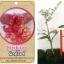 <<<<สั่งซื้อ>>>ต้นมะนาวคาเวียร์เสียบยอดสายพันธุ์ pink ice size S thumbnail 1