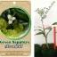 <<<<สั่งซื้อ>>>ต้นมะนาวคาเวียร์เสียบยอดสายพันธุ์ Green Sapphire Size S thumbnail 1