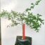 ต้นมะนาวคาเวียร์เสียบยอดสายพันธุ์ Tasty Green Size M thumbnail 2