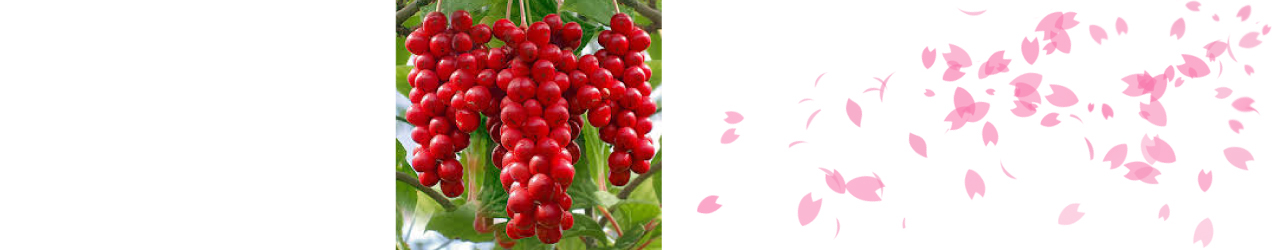 2.โหง๋วบิจี่ (Schisandra Extract) เป็นจุดเด่นของอมาโด้ ที่อาหารเสริมตัวอื่นในท้องตลาดยังไม่มี ช่วยเพิ่มพลังงานและล้างพิษให้กับร่างกาย เสริมสร้างภูมิคุ้มกัน ป้องกันโรคหัวใจในหญิงวัยทอง ลดภาวะเครียดและมีส่วนช่วยในการบำรุงตับ
